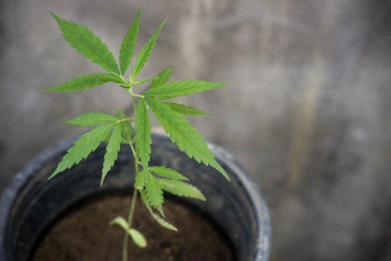 cbd, thai cannabis, cannabis